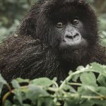 Gorillas in the midst: Trekking through Uganda