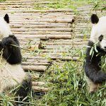 Up Close with Gentle Giants in Sichuan Province, Western China