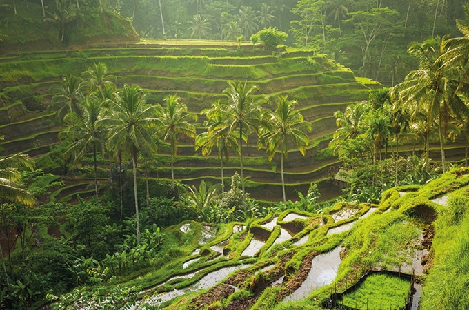 Ubud's rice paddies - Bali