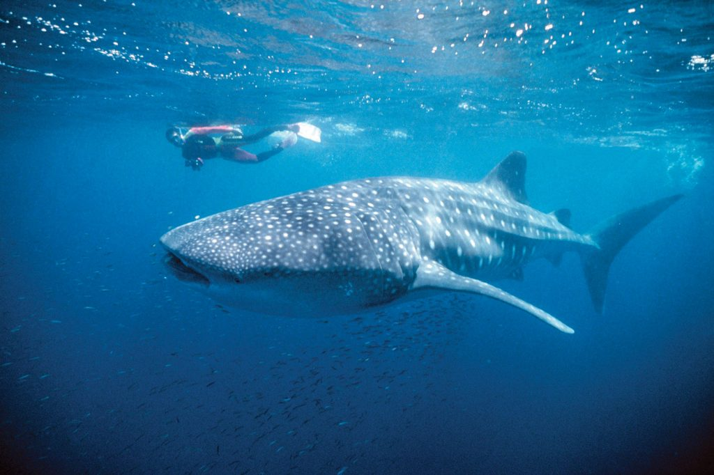 Swim with whale sharks on the Ningaloo Reef