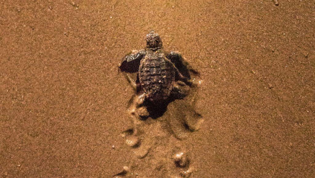 sea turtles queensland