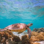 Where to help sea turtles on your next Queensland holiday