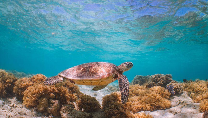 sea turtles in queensland
