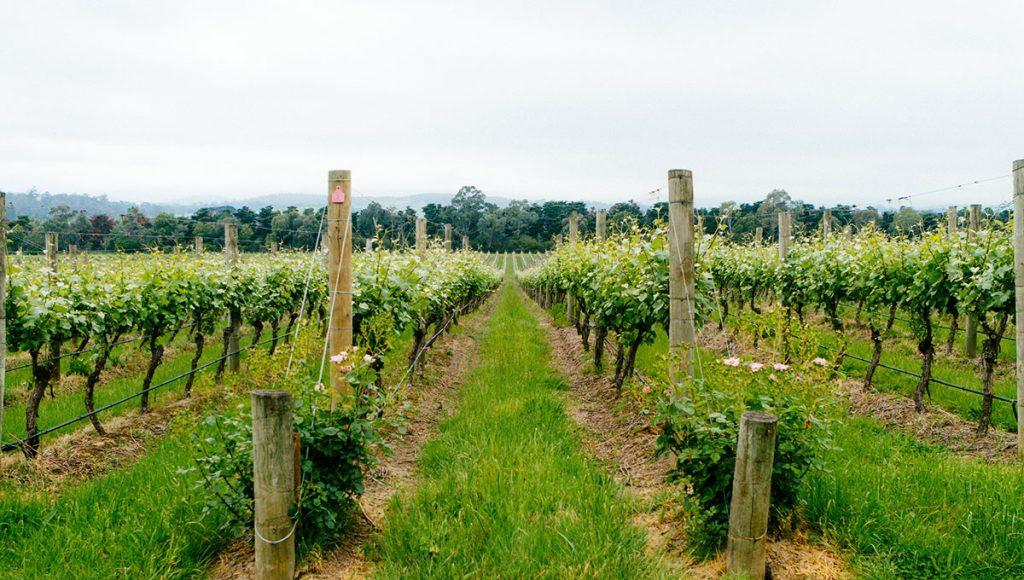 Yarra Valley vineyard, australian holiday